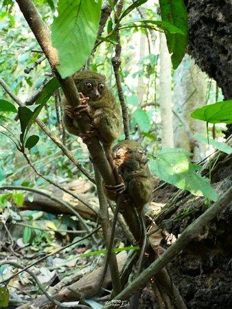 Tangkoko Research Station: Koboldmakis, eine süße kleine Kerlchen mit riesigen Augen <3