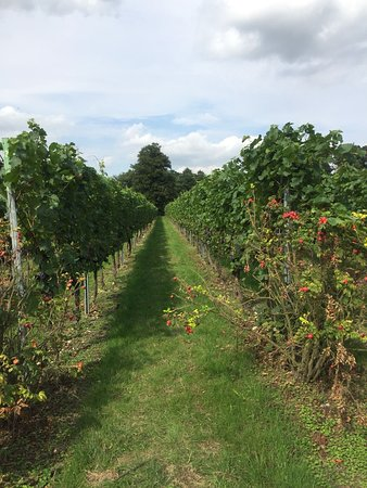 Shoreham, UK: Beautiful vines