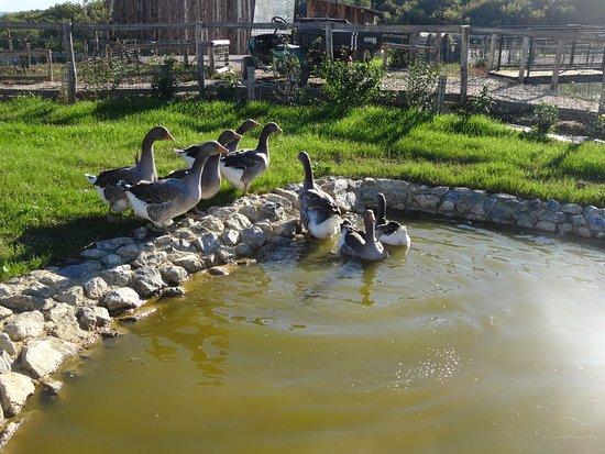 Gers, فرنسا: oie de Toulouse