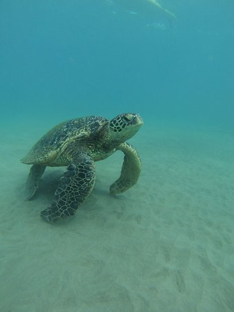Maui Surf Lessons: Turtle!