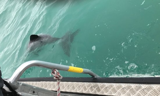 Swimming with Wild Dolphins in Akaroa: The dolphins swam right up the boat.