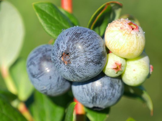 Florida Best Blueberry Farm