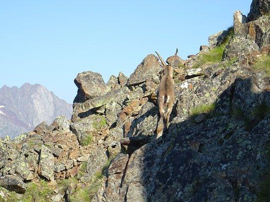 Passo del Tonale, Ιταλία: incontro con ungulati sul sentiero degli Austriaci