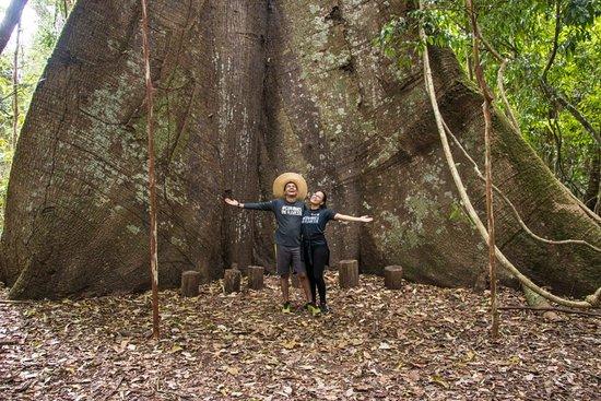Belterra, PA: Samauma gigante, conhecida carinhosamente como Vovozona.