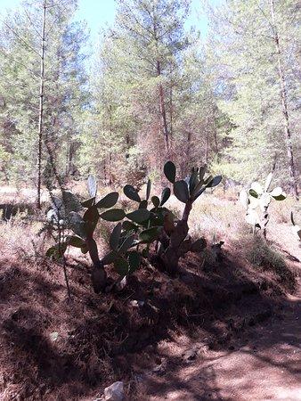 Troodos Mountains, Cyprus: Кактусы в лесу