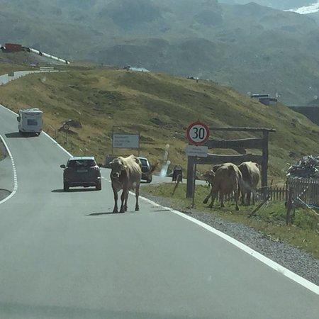 Partenen, Østerrike: Freilaufende Kühe