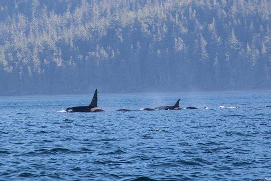 Rolf Hicker Photo Tours: orca pod