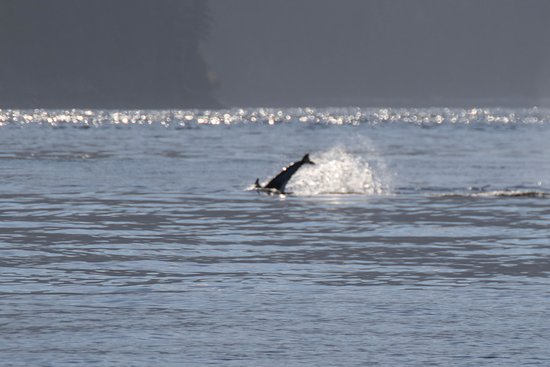 Rolf Hicker Photo Tours: dolphin hassling the orcas