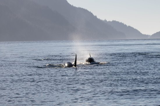 Rolf Hicker Photo Tours: orcas
