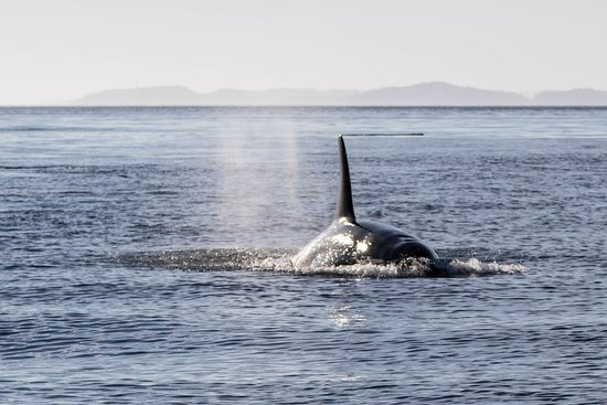 Rolf Hicker Photo Tours: orca coming right after us
