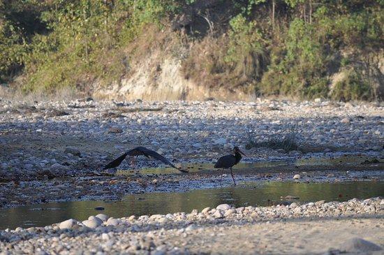 Tigers in Corbett: Water flowl