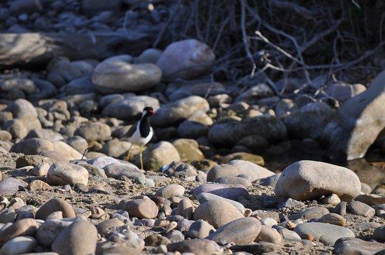 Tigers in Corbett: Plover