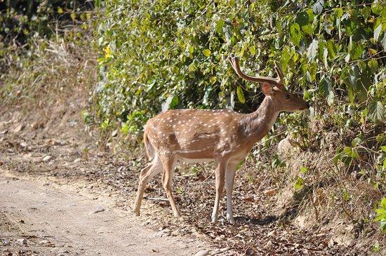 Tigers in Corbett: Spotted deer