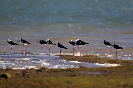 Canada Bay, Австралия: Blackwinged Stilt