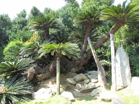 Une Big Sago Palm
