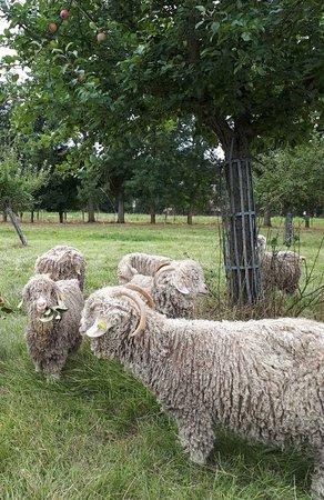 Rots, Francja: Chèvres Angora