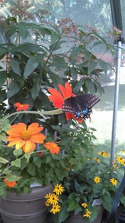 Saint Johnsbury, VT: beautiful butterfly
