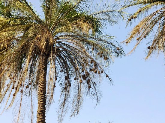 Marakissa, Gambia: Weaver nests