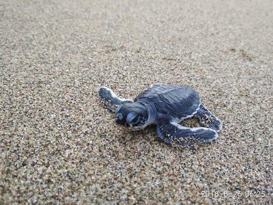 Sarongan, Indonesia: Baby turtle