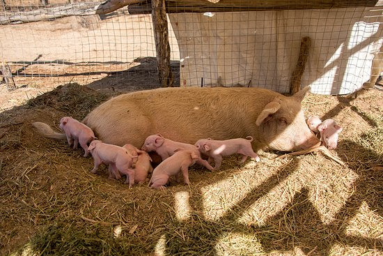 San Bartolo, เม็กซิโก: We grow our own pigs, to produce tasting and genuine product that  you can savor here for lunch