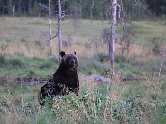 """Kuusamo, Finlândia: """"Nallen tuumailuhetki""""..."""