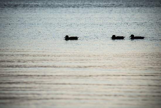 Laide, UK: Ducks in the sea