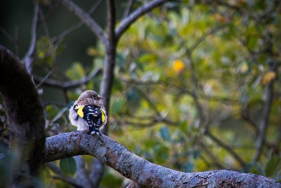Laide, UK: Young Goldfinch