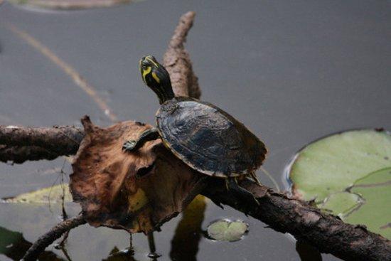 Magnolia Springs Park: Lots of turtles and alligators.