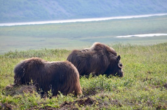 MuskOx South of Deadhorse