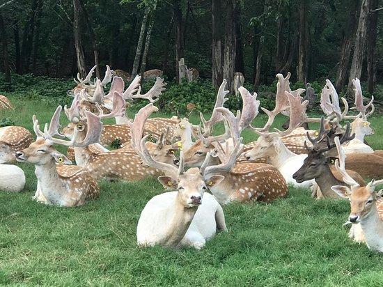 Eagle Rock, MO: Deer in the drive thru