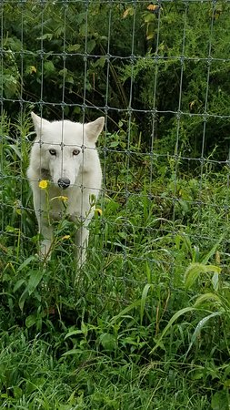 Wolf Sanctuary of PA : one of the wolves at the Sanctuary of PA