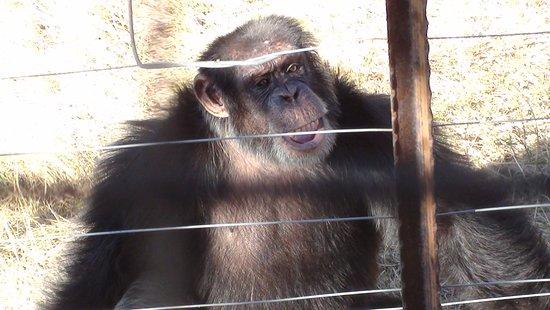 Jane Goodall Chimpanzee Eden Sanctuary : Glad I am here...despite the fence