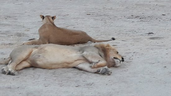 ‪‪Chobe National Park‬, بوتسوانا: Mating pair of lions‬
