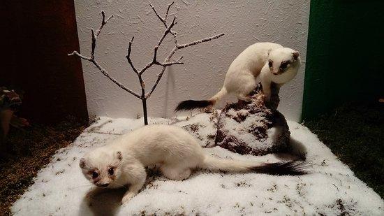 Musee faune lorraine: Des hermines