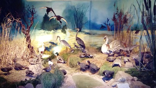 Musee faune lorraine: Canards cygnes...