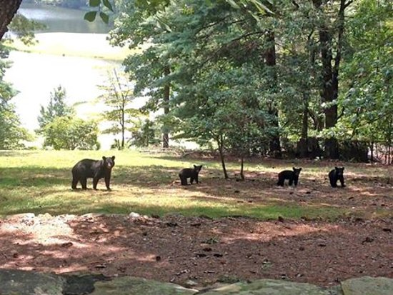 Big Canoe, GA: Bears share the natural mountains of North Georgia!
