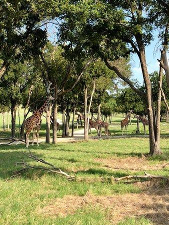 Fossil Rim Wildlife Center: So many giraffes
