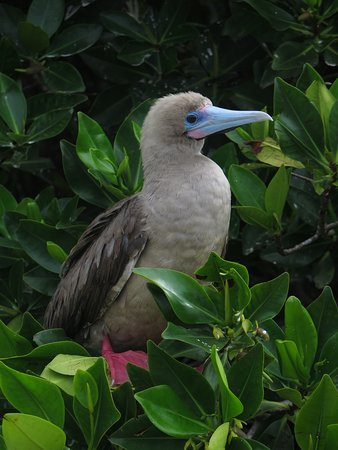 Genovesa, Ecuador: Red Footed Boobie