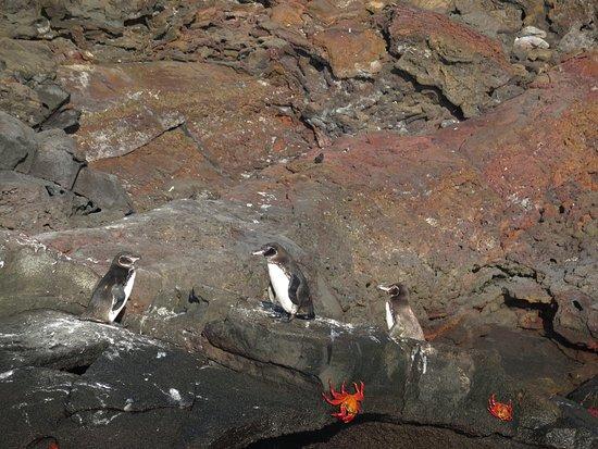 Bartolome, Ισημερινός: Pinguine