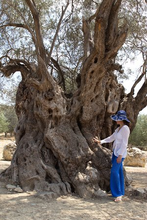 Kamilari, Grécia: Mother Olive tree