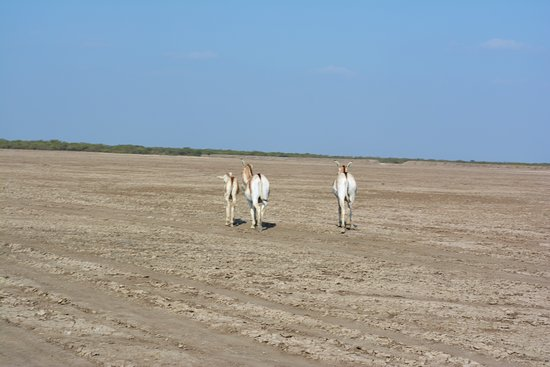 Indian Wild Ass Sanctuary, Little Rann of Kachchh