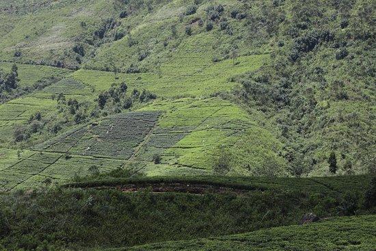Ceylon Tea Trails - Relais & Chateaux: Tea Plantation