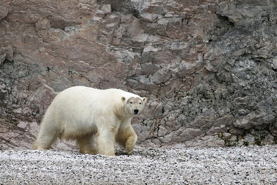 Polar bears are quite numerous in Wrangel Island but often skittish and far away from visitors