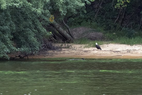 Dells Boat Tours: Eagle eating a fish...