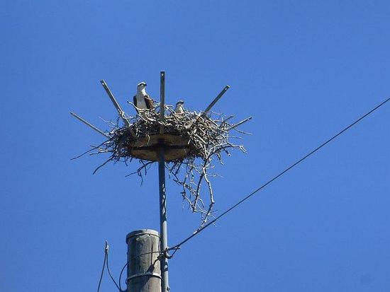Tumbulgum, Australien: White-bellied Sea-Eagle nesting