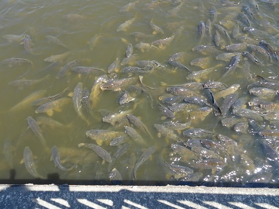 Linesville, PA: carp at the spillway