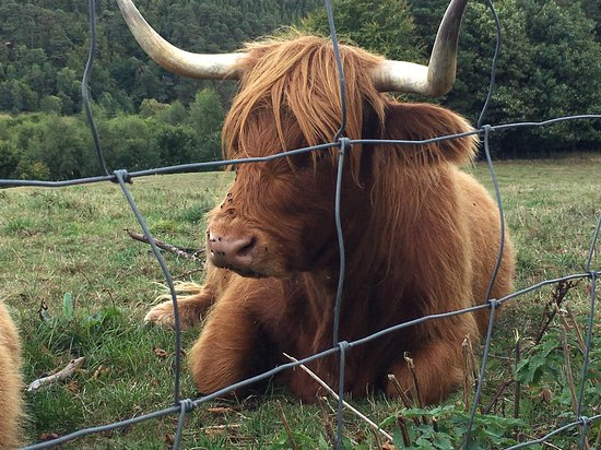 Burghead, UK: Highland cattle at MacAllan