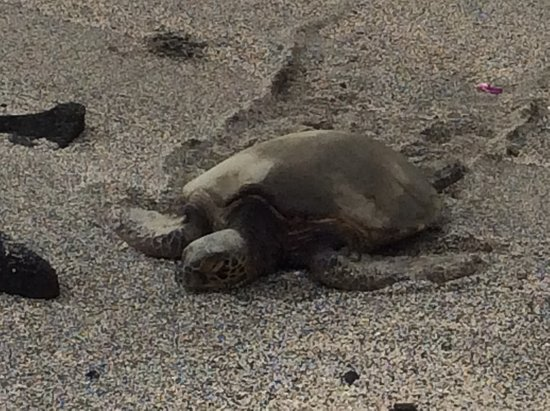 Honaunau, Hawái: sea green turtle