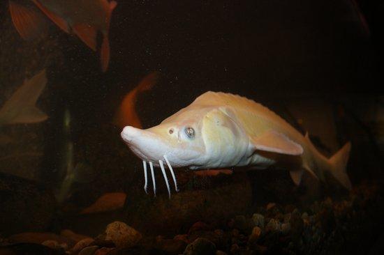 Biskupin, Polandia: Jedna z wielu pięknych ryb znajdujących się w tamtejszym akwarium