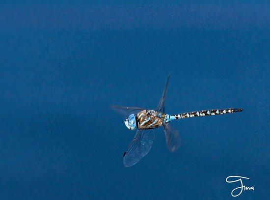 Peter Kalasz Photography: Blue Eyed Darner -Grand Forks, BC